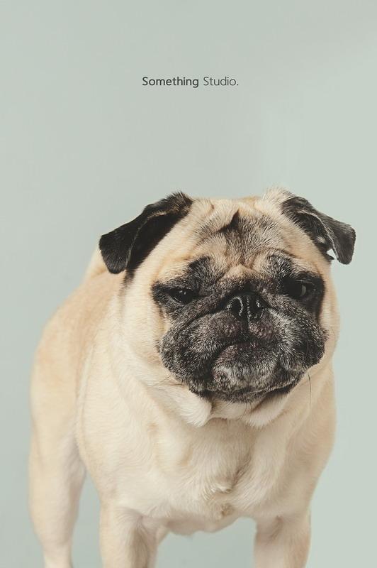 寵物攝影-巴哥Pug