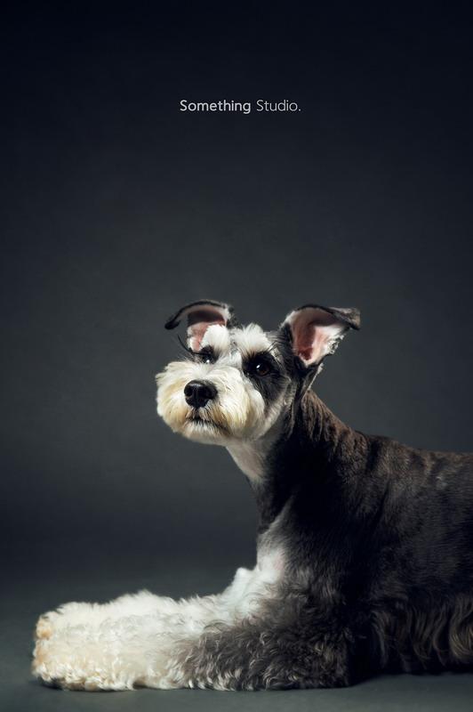 寵物攝影-雪納瑞Schnauzer