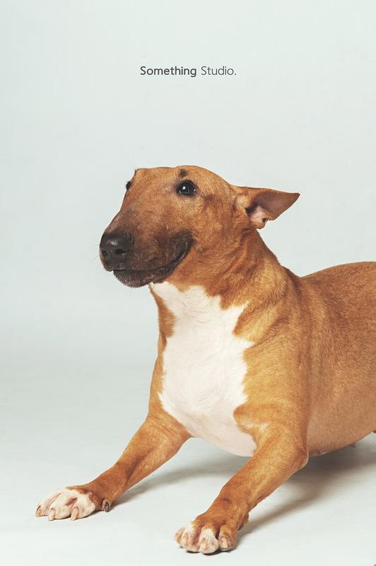 寵物攝影-牛頭梗Bull terrier